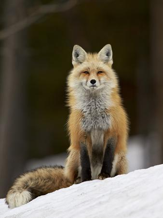 https://imgc.artprintimages.com/img/print/red-fox-vulpes-vulpes-vulpes-fulva-in-the-snow_u-l-psxwrf0.jpg?p=0