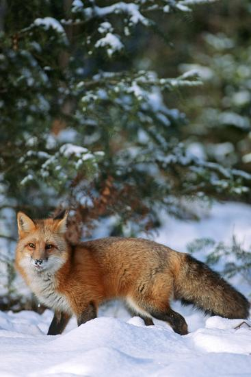 Red Fox Walking in Snow in Winter, Montana-Richard and Susan Day-Photographic Print