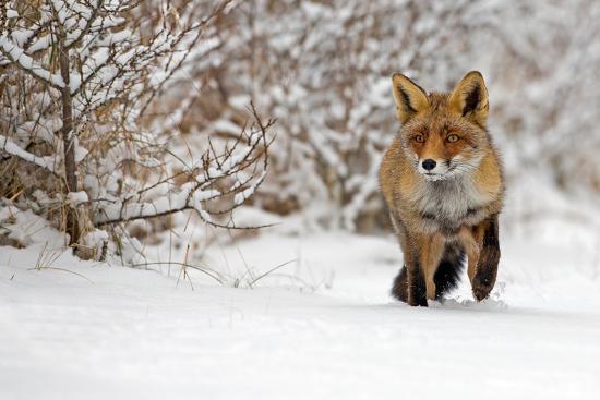 Red Fox Walks through the Snow-Menno Schaefer-Photographic Print