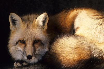 Red Fox Wildlife, New Mexico, USA-Gerry Reynolds-Photographic Print