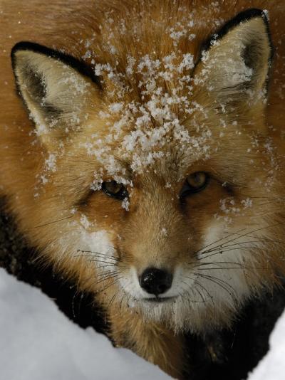 Red Fox, Winter, USA-Daniel J. Cox-Photographic Print