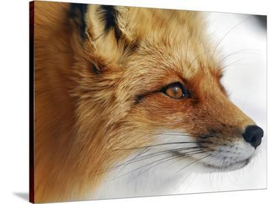 Red Fox-Alain Turgeon-Stretched Canvas Print
