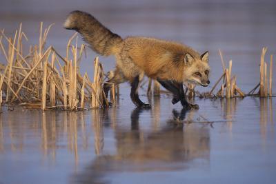 Red Fox-DLILLC-Photographic Print