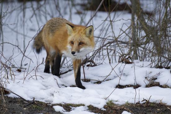Red Fox-Joe McDonald-Photographic Print