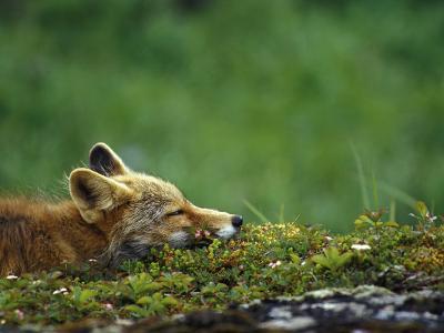 Red Fox-Chris Linder-Photographic Print