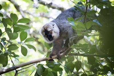 https://imgc.artprintimages.com/img/print/red-fronted-brown-lemur-eulemur-rufifrons-ranomafana-national-park-madagascar-central-highlands_u-l-q12r8z00.jpg?p=0