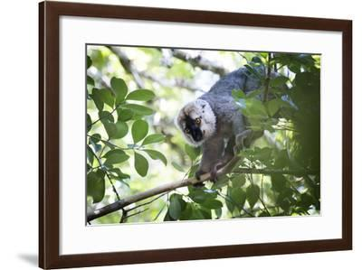 Red Fronted Brown Lemur (Eulemur Rufifrons), Ranomafana National Park, Madagascar Central Highlands-Matthew Williams-Ellis-Framed Photographic Print