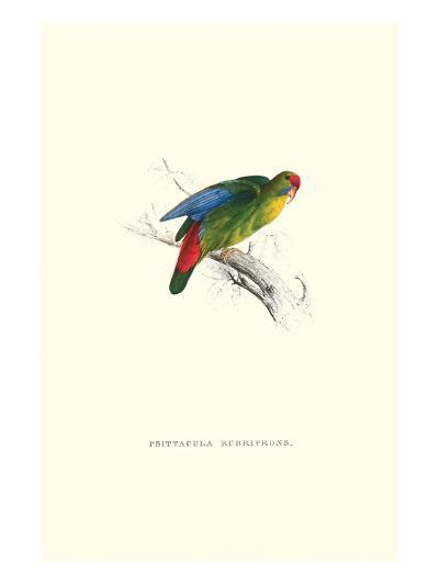 Red-Fronted Parakeet - Loriculus Philippinensis-Edward Lear-Art Print