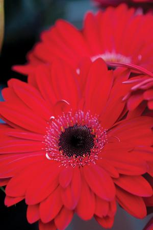 https://imgc.artprintimages.com/img/print/red-gerbera-daisies-2_u-l-q10pp020.jpg?p=0
