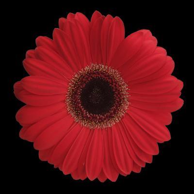 Red Gerbera Daisy-Jim Christensen-Photographic Print