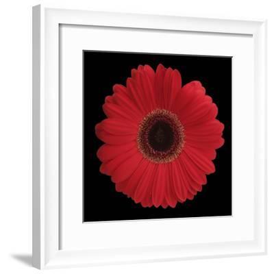 Red Gerbera Daisy-Jim Christensen-Framed Photographic Print