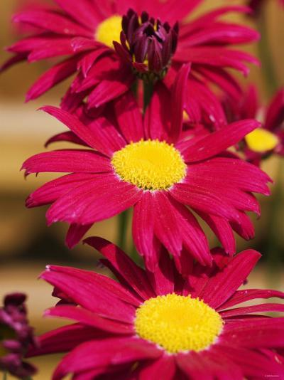 Red Gerbera in the Open Air--Photographic Print