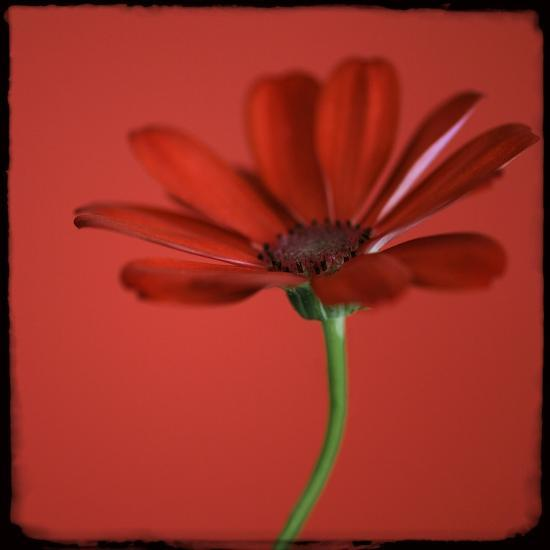 Red Gerbera on Red 07-Tom Quartermaine-Giclee Print