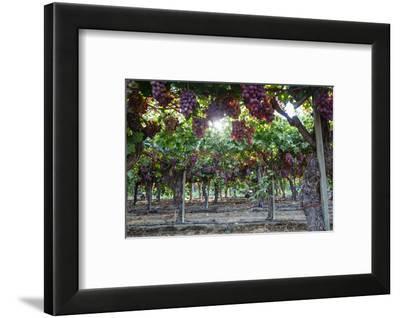 Red Globe Grapes at a Vineyard, San Joaquin Valley, California, Usa-Yadid Levy-Framed Photographic Print