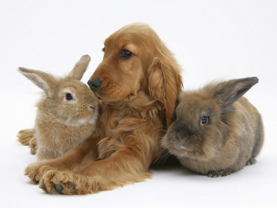 Red - Golden English Cocker Spaniel, 5 Months, with Two Rabbits-Mark Taylor-Photographic Print