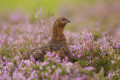 Red Grouse Amongst Heather--Photographic Print