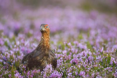 Red Grouse (Lagopus Lagopus), Yorkshire Dales, England, United Kingdom, Europe-Kevin Morgans-Photographic Print