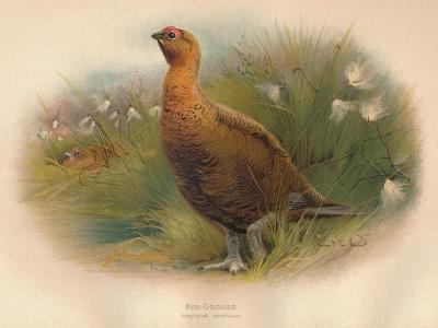 Red Grouse (Lagopus scoticus), 1900, (1900)-Charles Whymper-Giclee Print