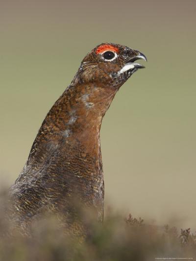 Red Grouse, Portrait of Male, Scotland-Mark Hamblin-Photographic Print