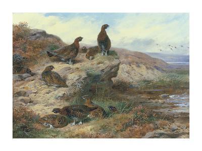 Red Grouse-Archibald Thorburn-Premium Giclee Print