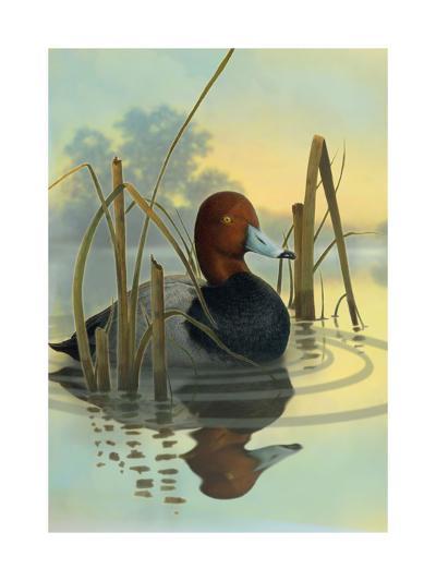 Red Headed Duck in Reeds--Art Print