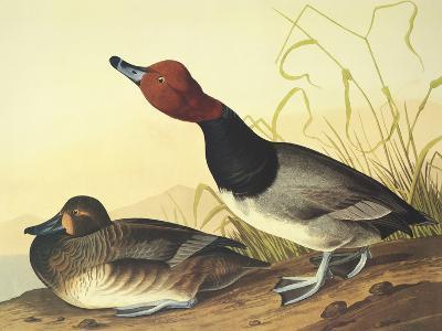 Red-Headed Duck-John James Audubon-Art Print