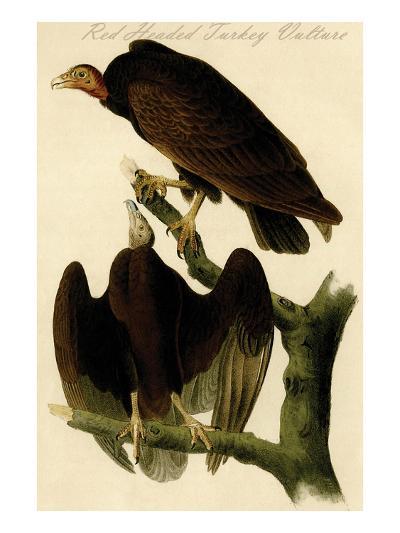 Red Headed Turkey Vulture-John James Audubon-Art Print