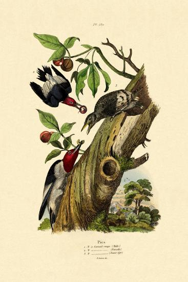 Red-Headed Woodpecker, 1833-39--Giclee Print