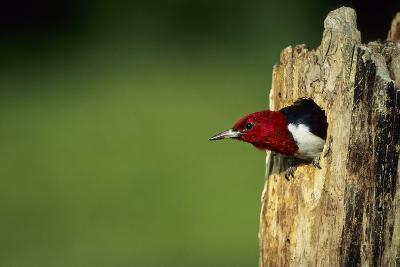 Red-Headed Woodpecker in Nest Cavity, Illinois-Richard and Susan Day-Photographic Print