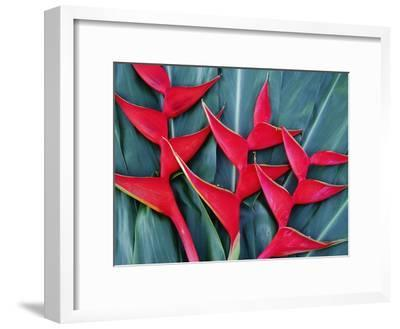 Red Heliconia Flowers-Darrell Gulin-Framed Photographic Print