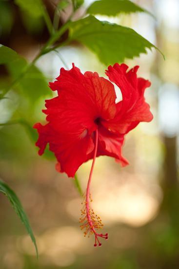 Red Hibiscus-Erin Berzel-Art Print