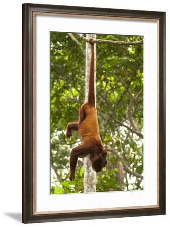 Red Howler Monkey (Alouatta Seniculus) Hanging by Prehensile Tail-Mark Bowler-Framed Photographic Print