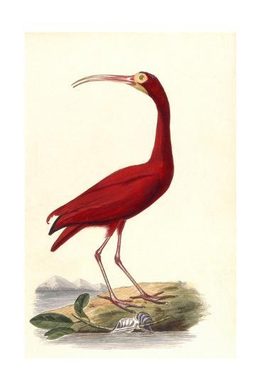 Red Ibis--Giclee Print