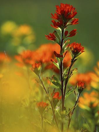 https://imgc.artprintimages.com/img/print/red-indian-paintbrush-flower-in-springtime-nature-conservancy-property-maxton-plains_u-l-p25su20.jpg?p=0