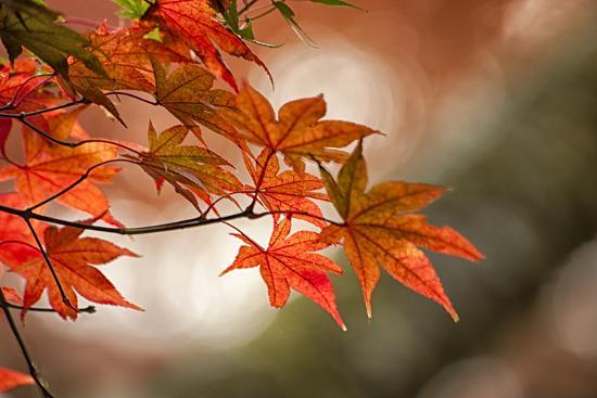 Red Japanese Maple Leaves in Fall-Sheila Haddad-Photographic Print