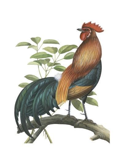Red Jungle Fowl (Gallus Gallus), Birds-Encyclopaedia Britannica-Art Print