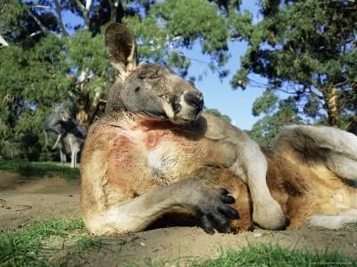 Red Kangaroo Macropus Rufus Cleland Wildlife Park South Australia
