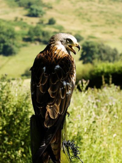 Red Kite, Adult Overlooking Countryside, UK-Mike Powles-Photographic Print