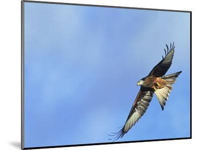 Red Kite, Flying Over Feeding Station, Powys, UK-Richard Packwood-Mounted Photographic Print