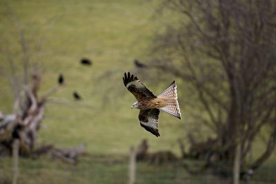 Red Kite in Flight--Photographic Print