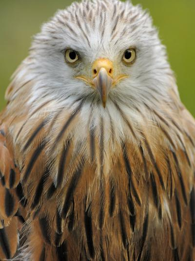 Red Kite, Iucn Red List of Endangered Species Captive, France-Eric Baccega-Photographic Print