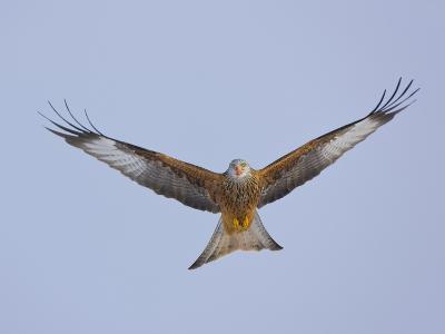 Red Kite (Milvus Milvus) in Flight, Gigrin Farm, Powys, Rhayader, Wales, UK, February 2009-Mu?oz-Photographic Print