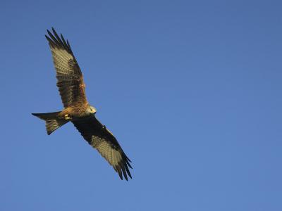 Red Kite (Milvus Milvus) in Flight with Wing Tags, Gigrin Farm, Rhayader, Wales, United Kingdom-Ann & Steve Toon-Photographic Print