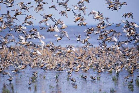 Red Knot Flock in Sea Edge--Photographic Print