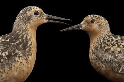 Red Knots, Calidris Canutus, a Species in Rapid Population Decline.-Joel Sartore-Photographic Print