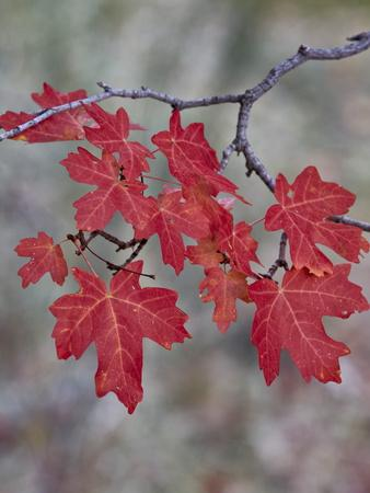 Red Leaves on a Big Tooth Maple Branch in the Fall-James Hager-Photographic Print