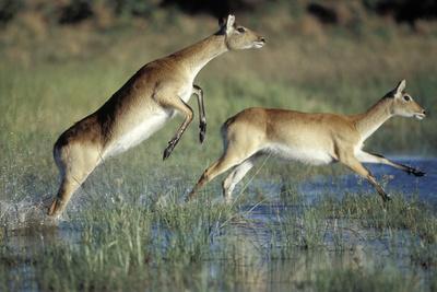 https://imgc.artprintimages.com/img/print/red-lechwe-pair-running-and-jumping-in-swamp-kobus-leche-khwai-river-moremi-gr-botswana_u-l-q11q0v20.jpg?p=0