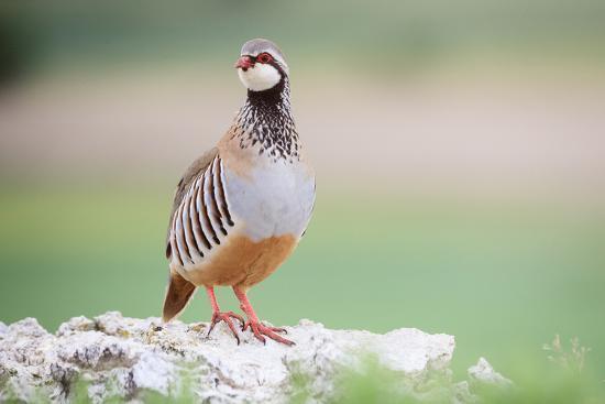 Red-Legged Partridge (Alectoris Rufa) Perched On Stones. Lleida Province. Catalonia. Spain-Oscar Dominguez-Photographic Print