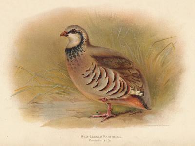 Red-Legged Partridge (Caccabus rufa), 1900, (1900)-Charles Whymper-Giclee Print
