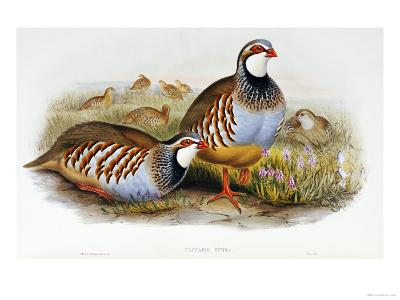 Red Legged Partridges (Caccabis Rubra)-John Gould-Giclee Print